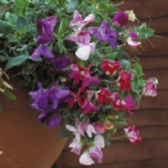 Sweet Pea - Cupid Mix - 60 seeds Basket type